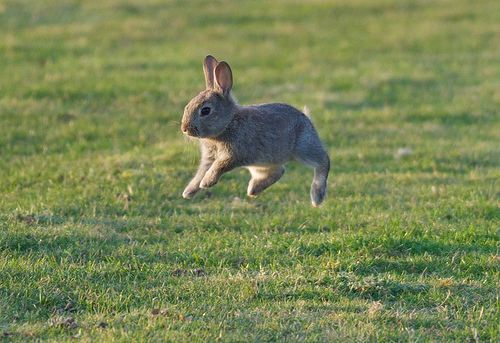 Not only is this bunny fast, he's a good jumper