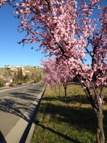 Pink trees line the street