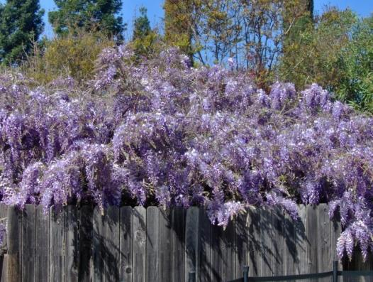 beautiful wisteria