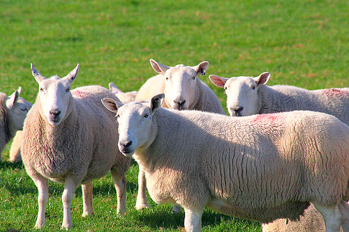 Yeah, I'm looking at you, sheep.
