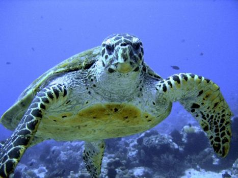 Critically_Endangered_Hawksbill_Sea_Turtle_600