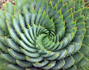 A succulent spiral; Image source: en.wikipedia.org